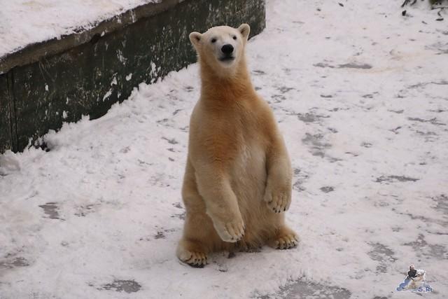 Eisbär Fiete im Zoo Rostock 23.01.2016  0284