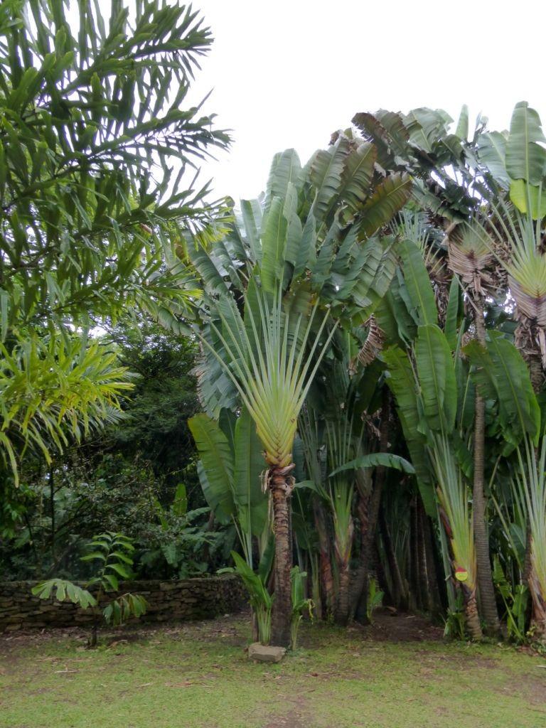 Traveler Palm in Medellin Botanical Gardens