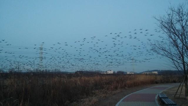 공릉천 관찰일기-청둥오리들의 아침비행