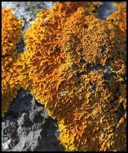 Xanthoria parietina (4)