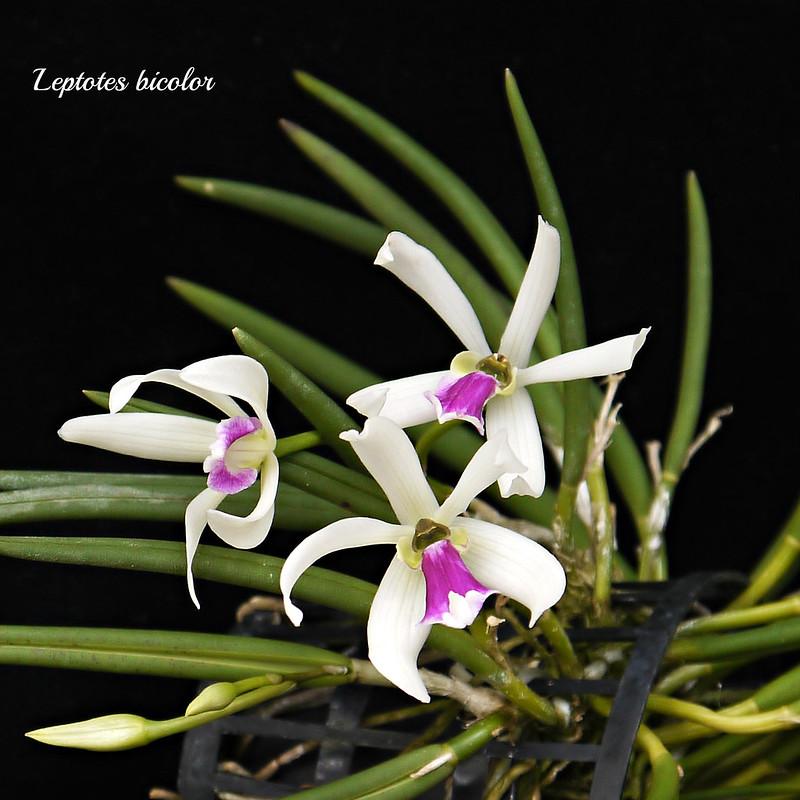 Leptotes bicolor 25379708334_64dbff0fbd_c