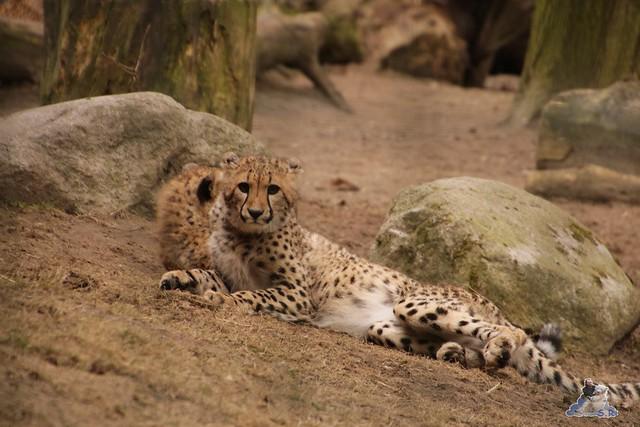 Eisbär Fiete im Zoo Rostock 13.03.2016 Teil 2  0178