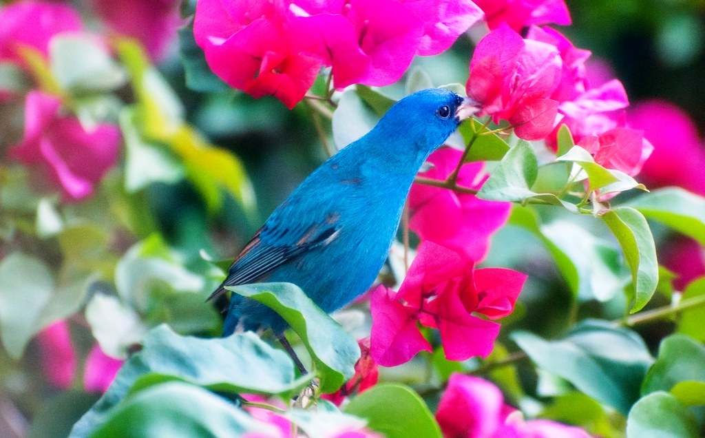 Is This Indigo Bunting Stopping to Smell the Flowers? North Port, Florida March 27, 2016