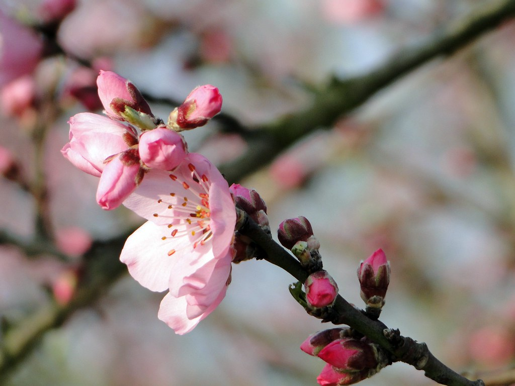 pix_almond-blossom-689857