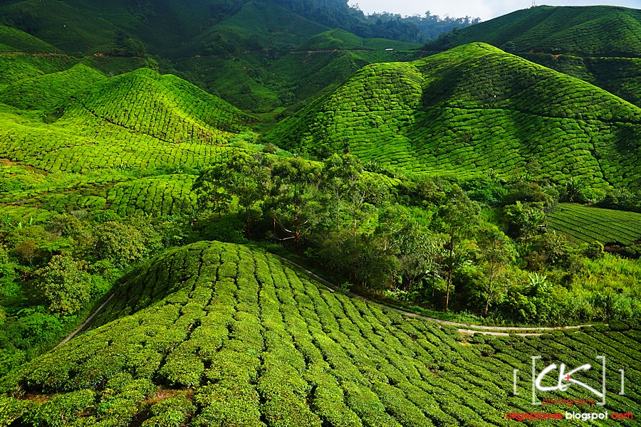 Cameron_Highlands_011
