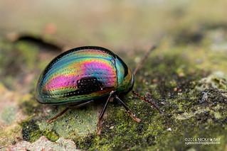 Darkling beetle (Amarygmus sp.) - DSC_9856