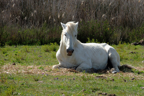 Camargue Horse at s'Albufera
