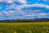 Frühling 2016 - blühendes Rapsfeld