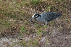Yellow-crowned Night-Heron - Nyctanassa violacea - Manatee County, Florida, USA - November 5, 2005