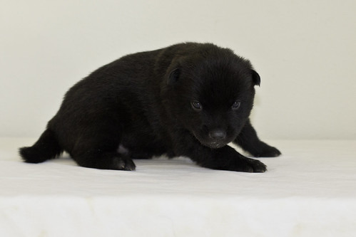Kumi-Litter5-Day20-Puppy3-Male-d