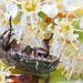 Cetoniine flower chafer by Franziska Bauer