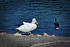 white duck with feather ball