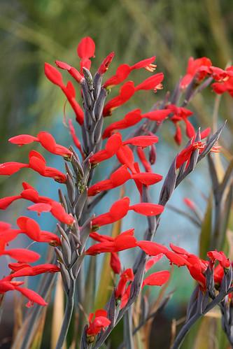 gladiolus_cunonius