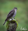 Sparrowhawk and Goldfinch