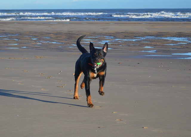 Rottweiler on Crimdon Beach