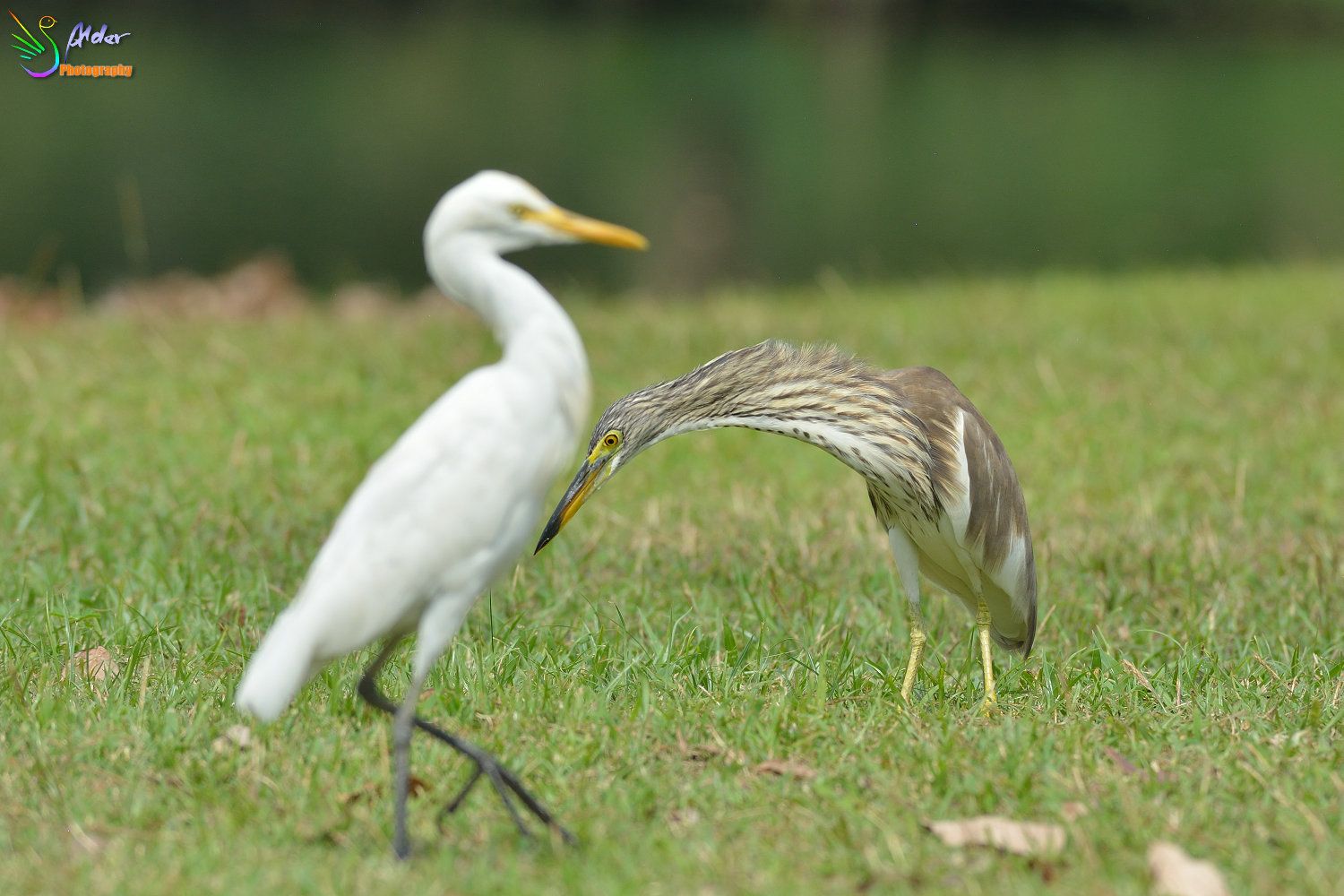 Chinese_Pond_Heron_1353