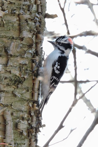 Downy Woodpecker #44