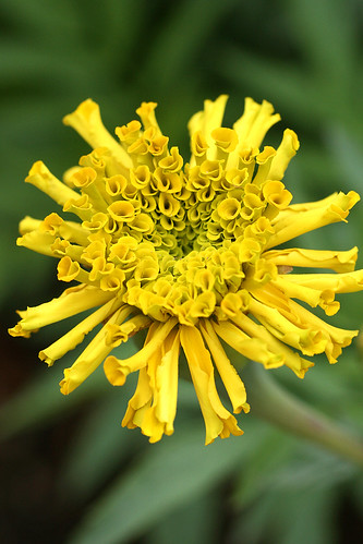 marigold day of the dead yellow