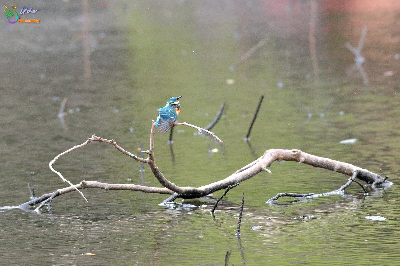 Common_Kingfisher_4117
