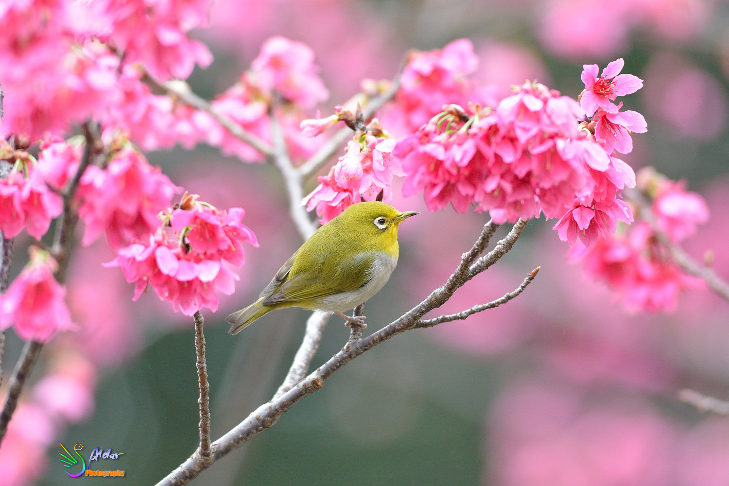 Sakura_White-eye_5901