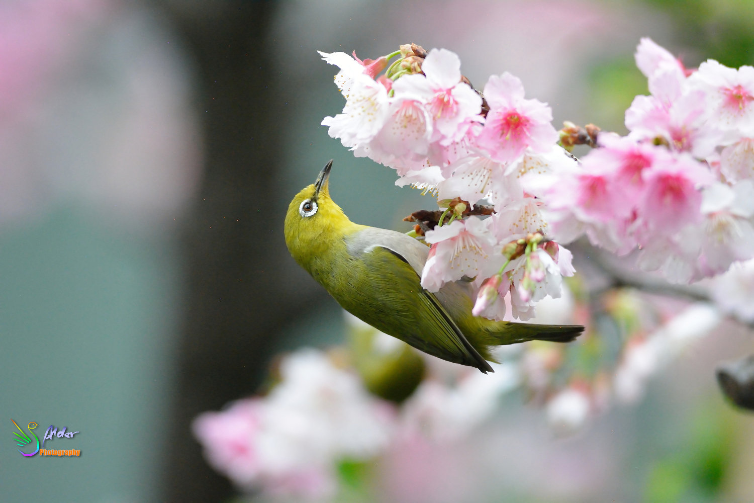 Sakura_White-eye_7202