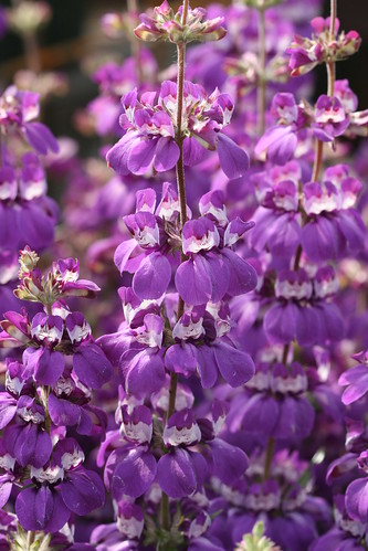 Collinsia purple
