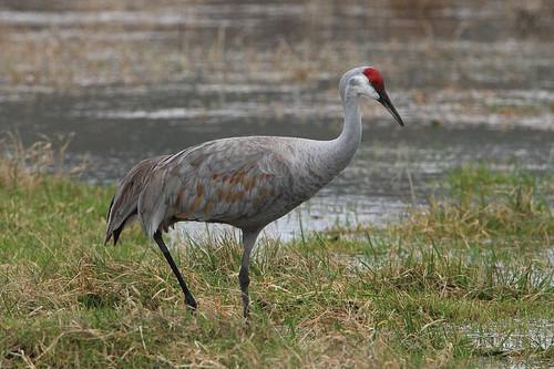 birds wildlife washingtonstate sandhillcranes gruscanadensis bentoncounty westrichland