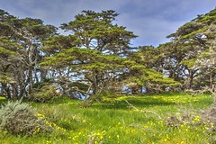 Cypress Trees in a Grove (Explore 4/6/16 #236)
