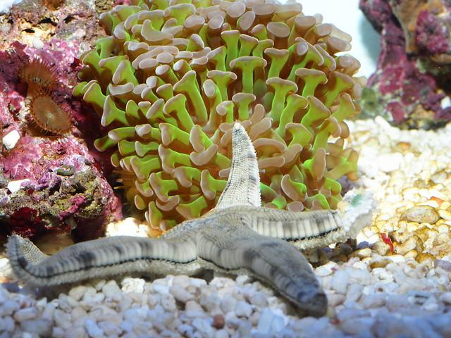 P4092744 翻砂海星 榔頭珊瑚