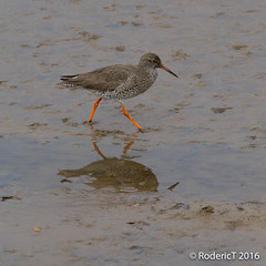 20160409-ROTL2569 Redshank Titchwell RSPB Reserve North Norfolk.jpg