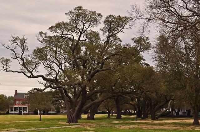 Fort Monroe, Live Oak (Quercus virginiana) (2)