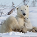Polar Bear and Cubs at rest by Nature's Photo Adventures - David G Hemmings