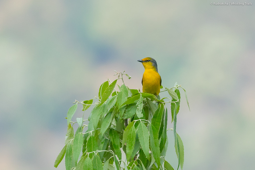 Scarlet Minivet (female)