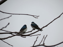 welcome back tree swallows