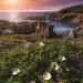 Cistus salviifolius de l'Ostriconi (Corsica) by Mathulak