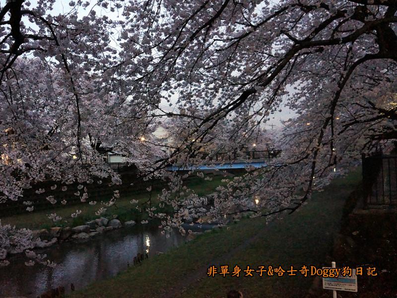 日本東京深大寺溫泉周邊賞櫻花25