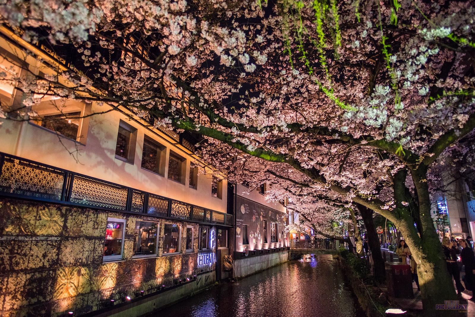 春の桜 - 高瀨川夜櫻