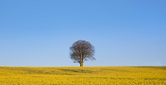 Tree in Oilseed Number Three