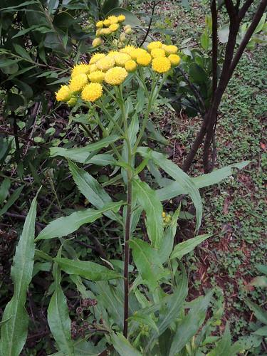 toxic kenya asteraceae kabarnet taxonomy:binomial=conyzanewii