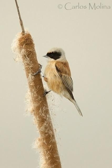 Pájaro-moscón europeo (macho)