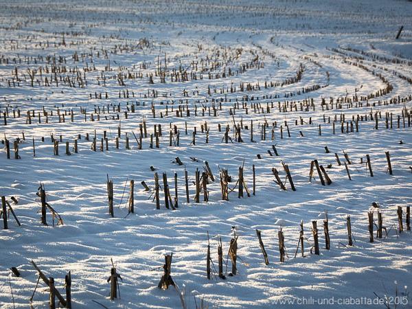 Maisstoppeln im Schnee