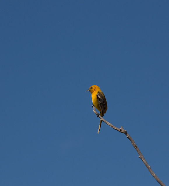 yellow oriole 2 (1 of 1)
