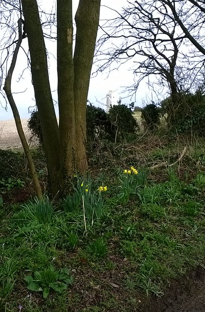 Early spring daffs plus a windmill in the background