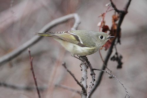 bird animal fauna wildlife washingtonstate rubycrownedkinglet snowmountainranch coth yakimacounty