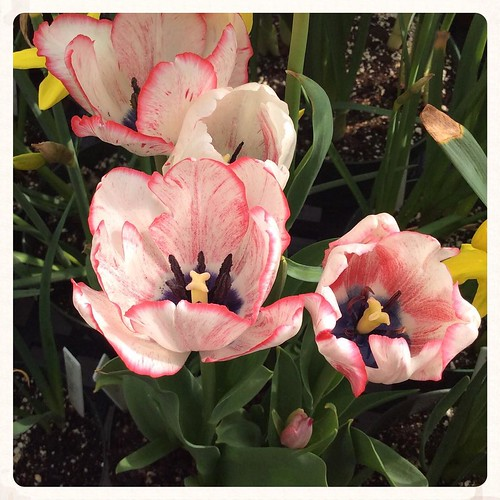 I can never see too many tulips. #bonniesennott #springflowers #joy