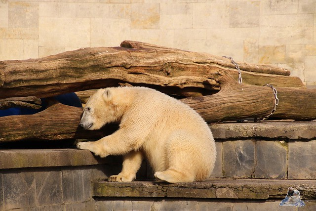 Eisbär Fiete im Zoo Rostock 20.03.2016  0256