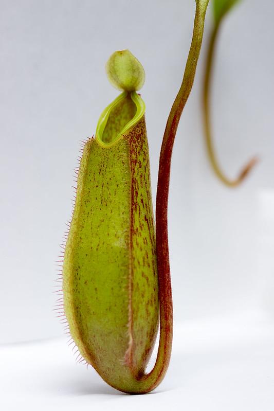 N. tentaculata Murud