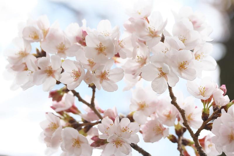 東京路地裏散歩 谷中の桜 2016年3月27日