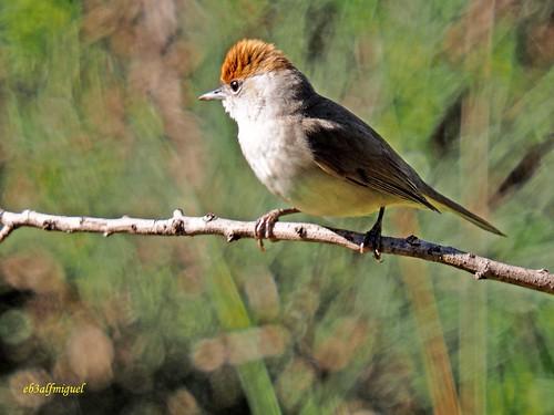 Sylvia atricapilla ( Curruca capirotada) (24)