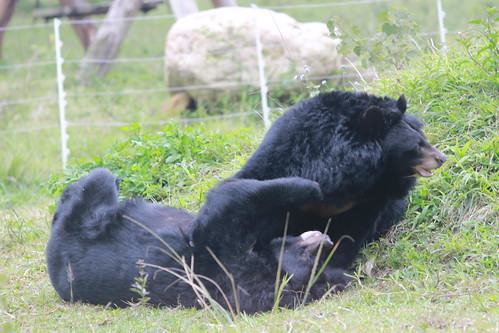 Cinnamon (L) and Angelica (R) play with each other in their enclosure at VBRC
